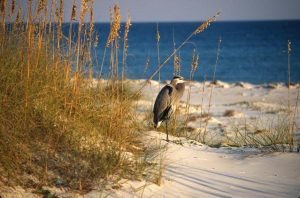 Heron-on-Beach-Bickel-300x198